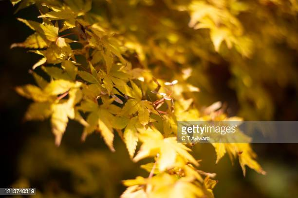 bright autumnal japanese maple leaf colours - port talbot stock pictures, royalty-free photos & images
