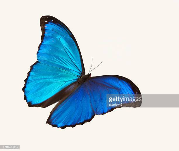 Bright blue butterfly flying against a white backdrop