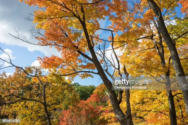 bright blue sky visible through orange and yellow fall leaves. - istock photo stock pictures, royalty-free photos & images