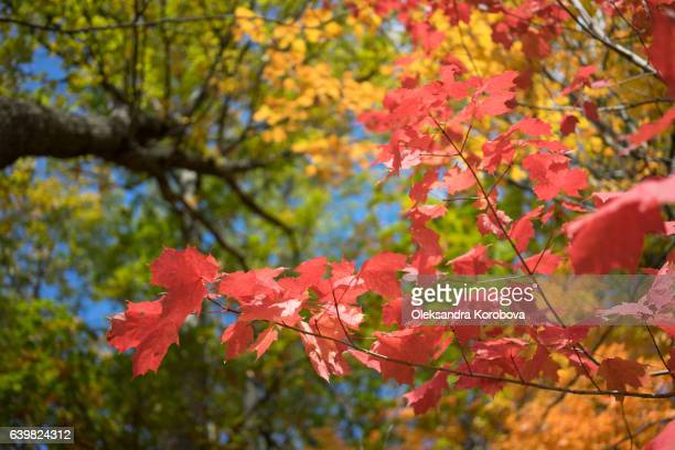 bright blue sky visible through orange and yellow fall leaves. - istock photos et images de collection
