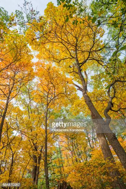 bright blue sky visible through orange and yellow fall leaves. - istock stock pictures, royalty-free photos & images
