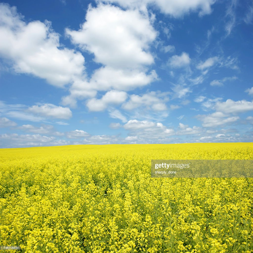 XXXL bright canola field : Stock Photo