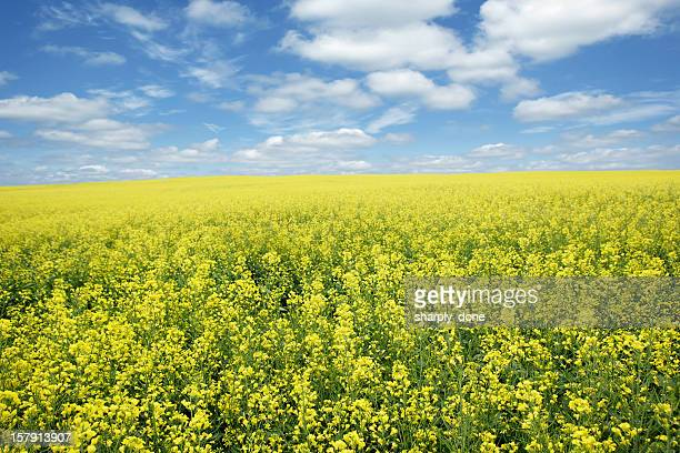 xxxl bright canola field - prairie stock pictures, royalty-free photos & images