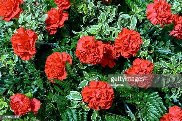 明るい carnations