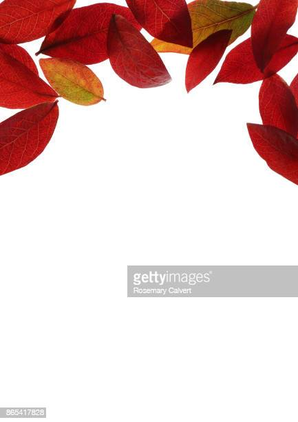 Bright colored blueberry leaves, copy space below.