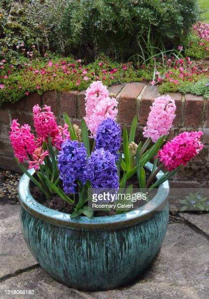 bright colourful, fragrant hyacinth flowers in pot on patio. - hyacinth stock pictures, royalty-free photos & images