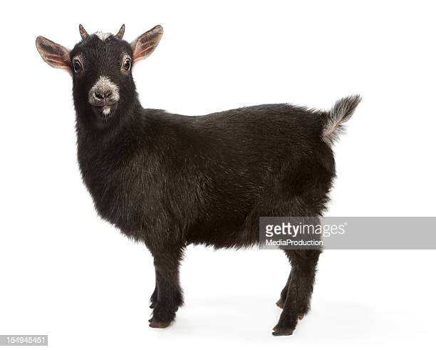 bright eyed and busy tailed miniature goat - goats stock pictures, royalty-free photos & images