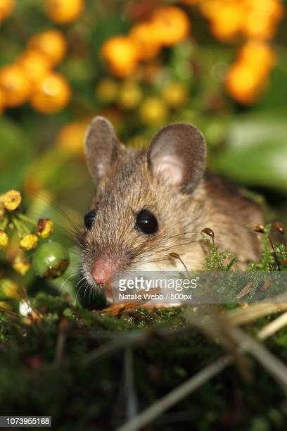 bright eyes - field mouse stock photos and pictures
