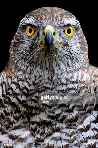 bright eyes - hawk stock photos and pictures