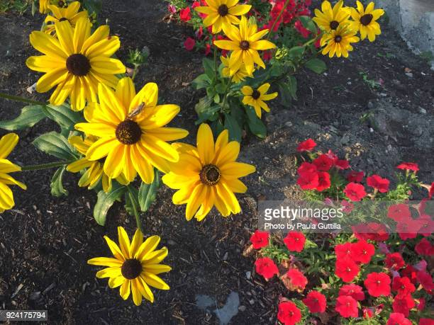 bright flowers - paula guttilla stock pictures, royalty-free photos & images