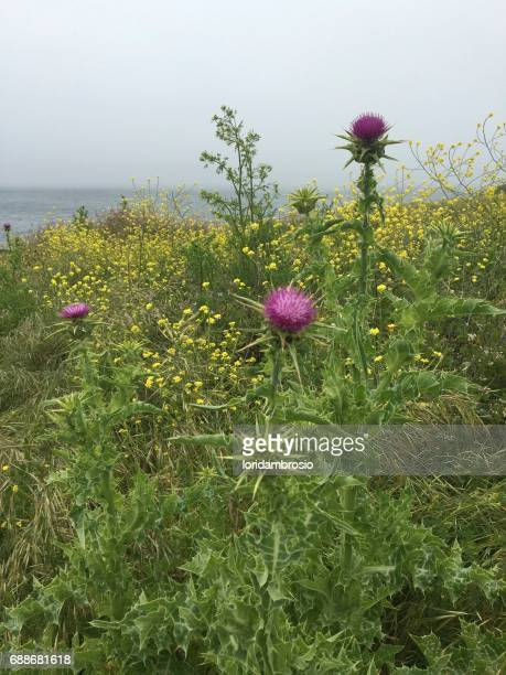 Bright fuchsia colored thistle in a meadow
