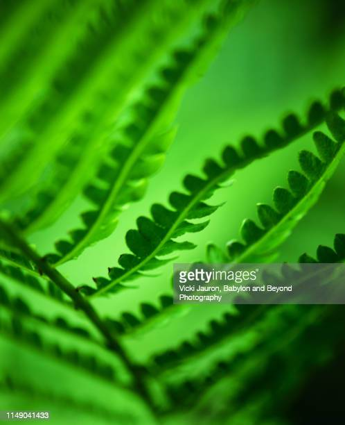 bright green backlit vibrancy of ferns in bloom in east hampton, long island. - east hampton stock pictures, royalty-free photos & images