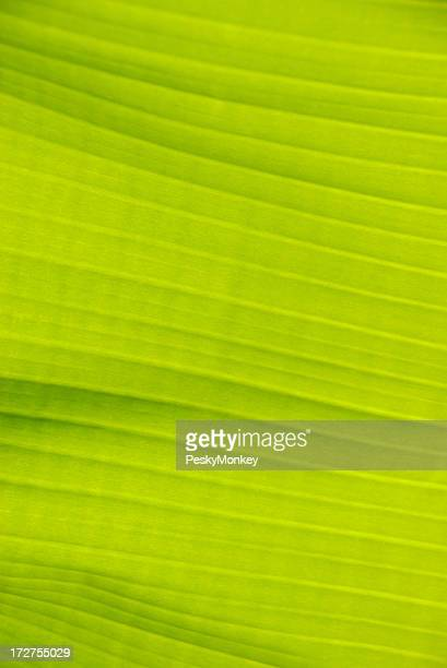 Bright Green Banana Leaf Background Full Frame