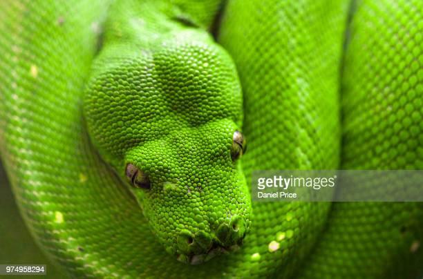 Bright green emerald tree boa (Corallus caninus) snake, Washington D.C., USA