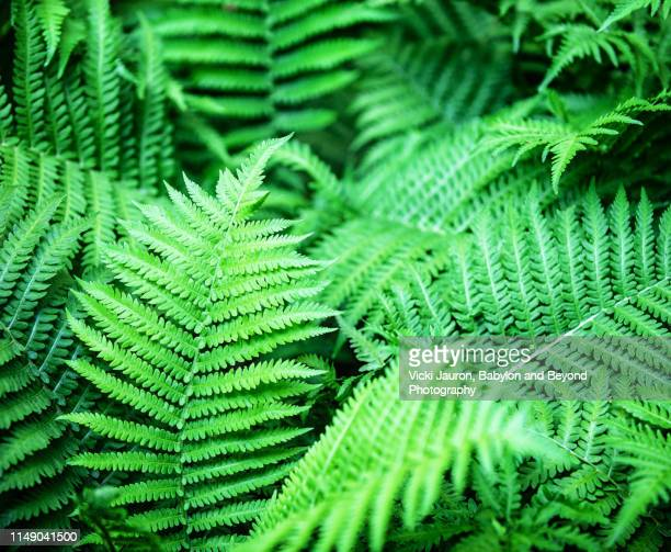 bright green vibrancy of ferns in bloom in east hampton, long island. - east hampton stock pictures, royalty-free photos & images