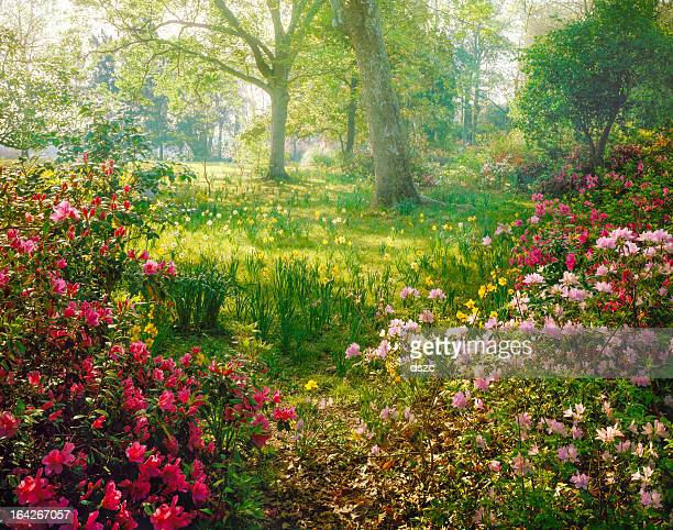 bright hazy sunlight through azalea and daffodil garden - lush stock pictures, royalty-free photos & images