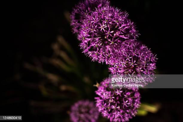 bright lilac blooming aflatuni onion latin name allium aflatunense - allium flower stock pictures, royalty-free photos & images