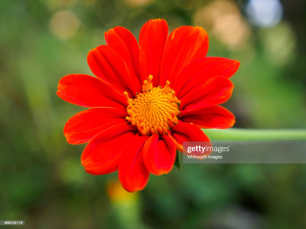 Bright Orange Daisy Flower With Yellow Centre Stock Photo Getty Images