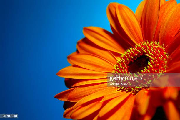 bright orange gerbera against a blue background - gerbera daisy stock pictures, royalty-free photos & images