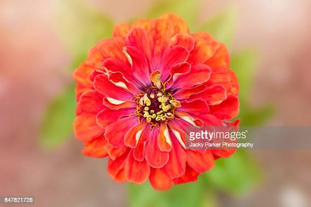 "Bright orange Zinnia ""Profusion series"" flower"