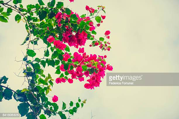 Bright pink bougainvillea branches