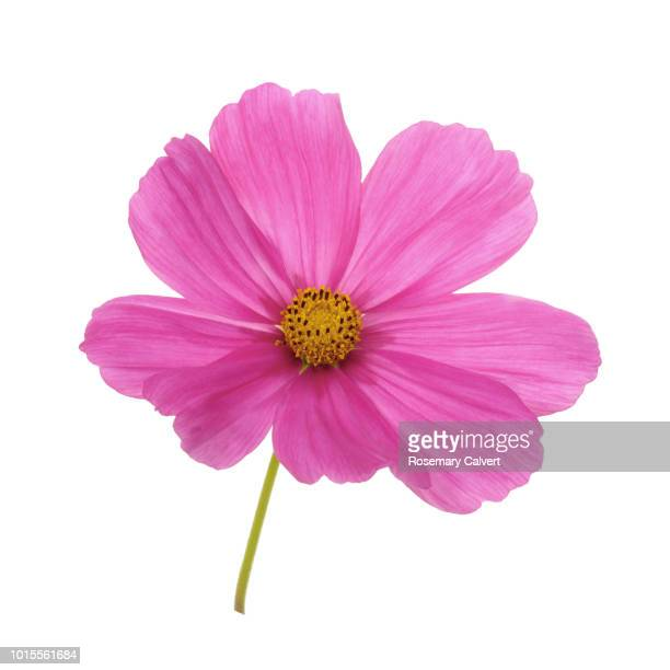 Bright pink cosmos flower on white.