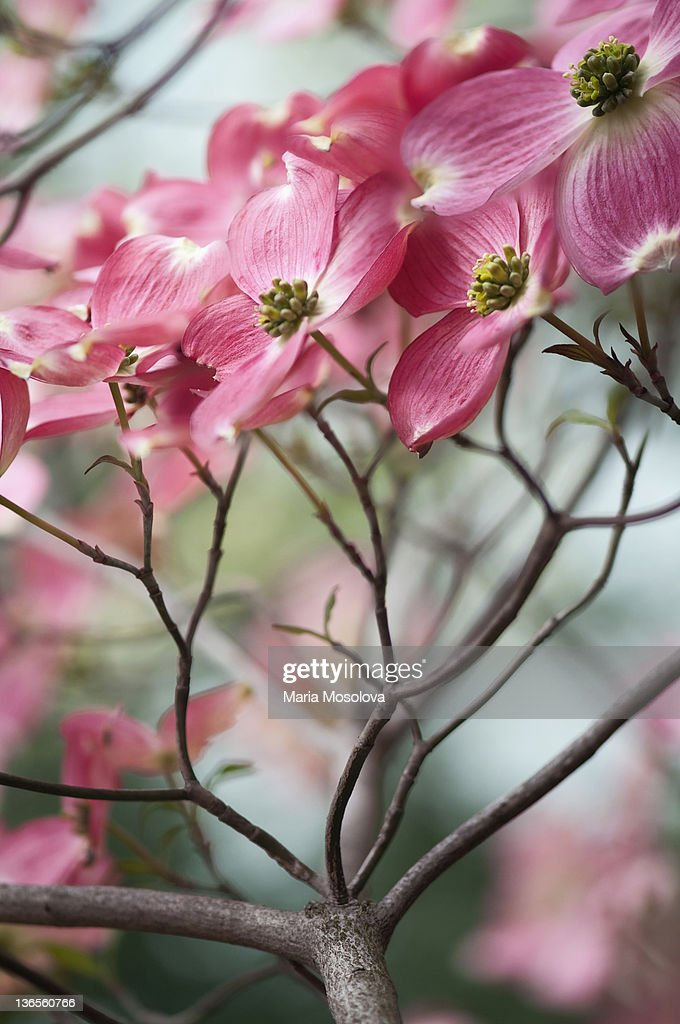 Bright pink flowers on a dogwood tree stock photo getty images bright pink flowers on a dogwood tree stock photo mightylinksfo