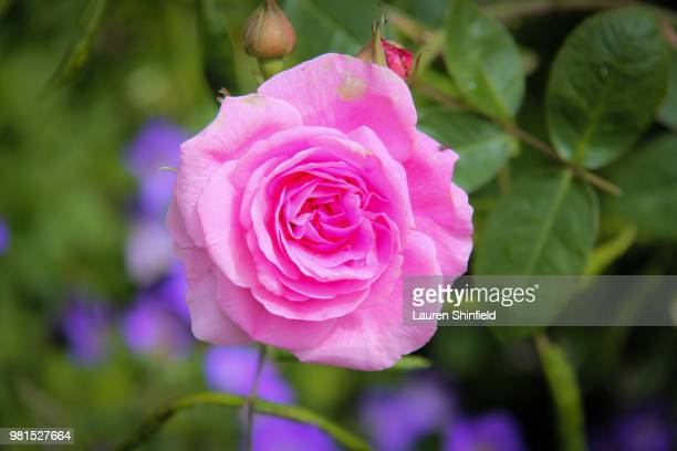 Bright Pink full bloom rose