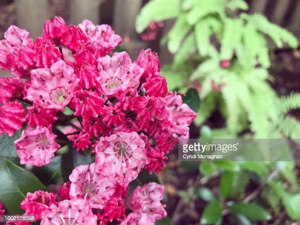 bright pink mountain laurel blossoms - mountain laurel stock pictures, royalty-free photos & images