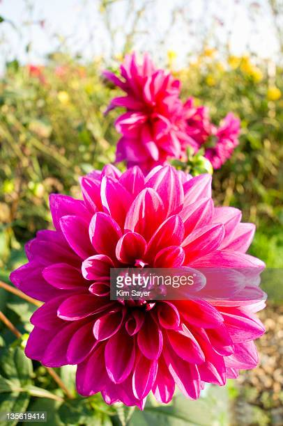 Bright Pink Waterlily Dahlia (Dahlia)
