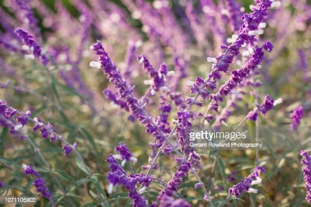 Bright Purple Lavender