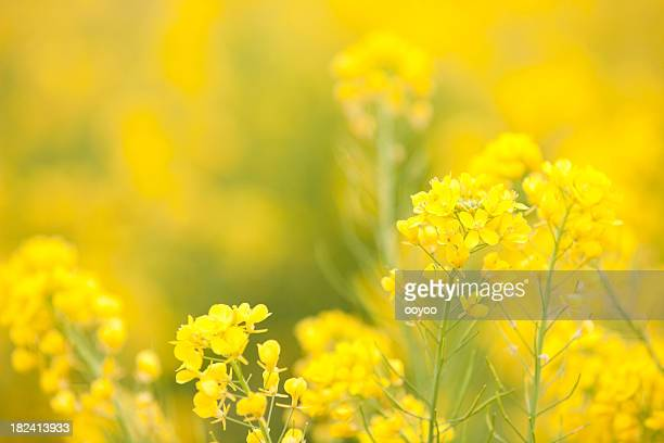bright rape blossoms - brassica stock photos and pictures