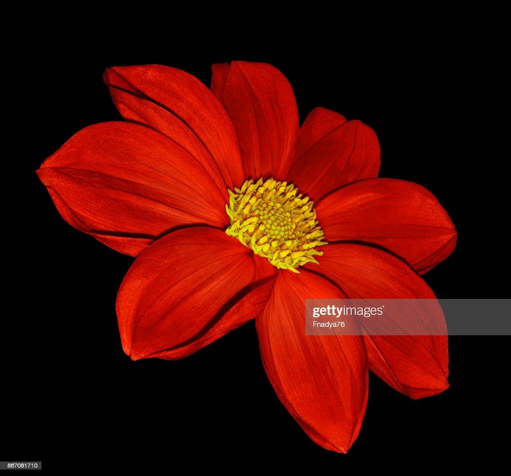 Bright red flower dahlia on black isolated background with clipping bright red flower dahlia on black isolated background with clipping path no shadows closeup izmirmasajfo