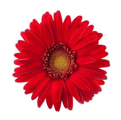 Bright red Gerbera flower isolated on white background. 916989044