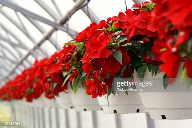 bright red new guinea impatiens - hanging basket stock pictures, royalty-free photos & images