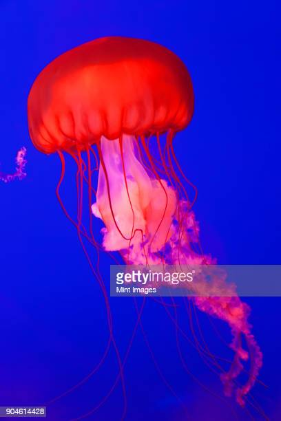Bright red Pacific Sea Nettle Jellyfish in an aquarium, bright blue background.