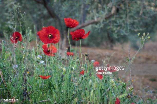 bright red poppies in front of blurred olive trees - dorte fjalland fotografías e imágenes de stock