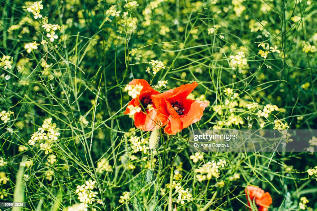 Bright red poppies in rape plant filed : Stockfoto