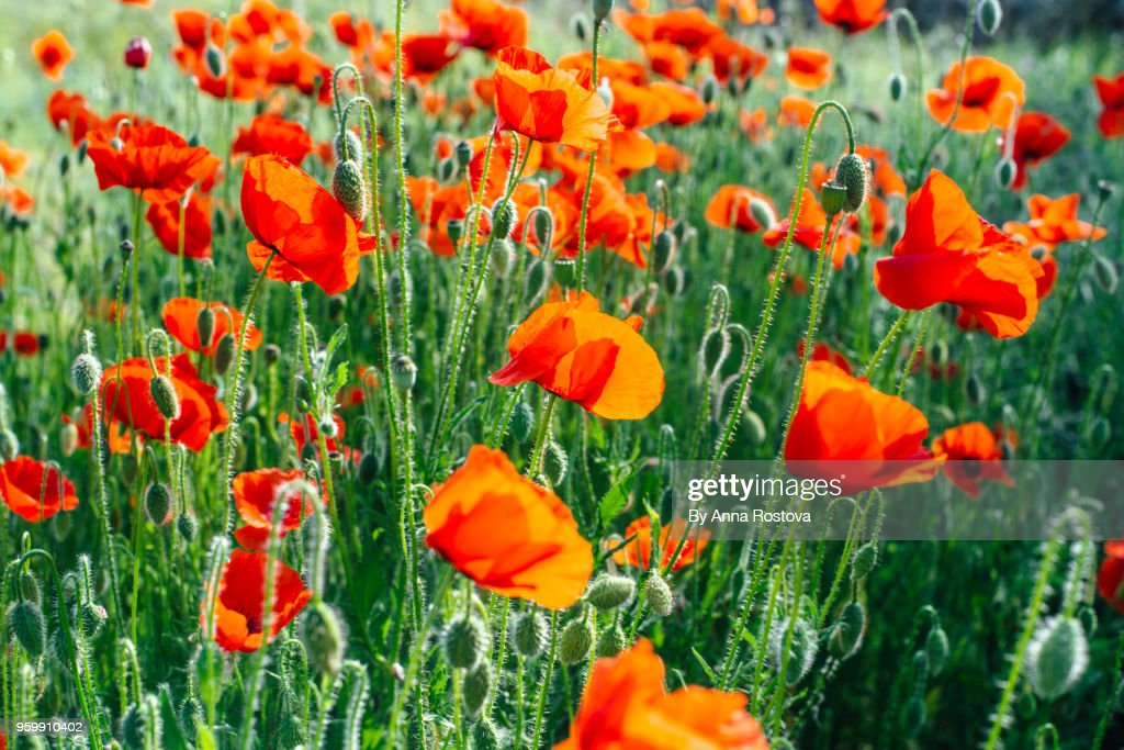 Bright red poppies sunlit : Stock-Foto