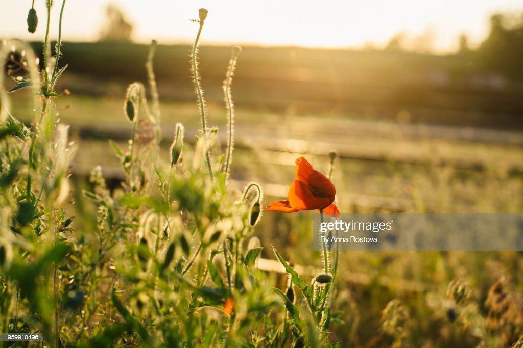 Bright red poppy in light of setting sun : Stock-Foto