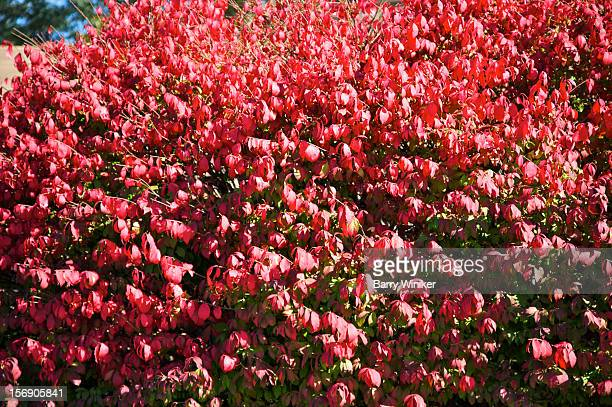 bright red-leafed shrub in fall. - burning bush stock pictures, royalty-free photos & images
