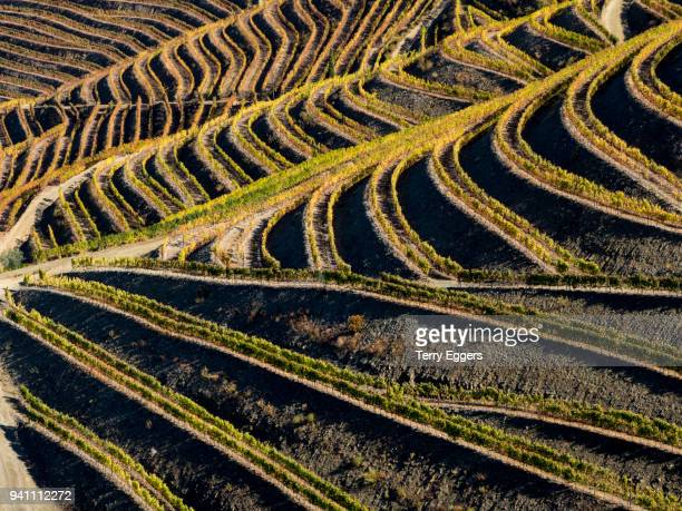 Bright Rows of Autumn Color in the Vineyards and hills of the Douro Valley