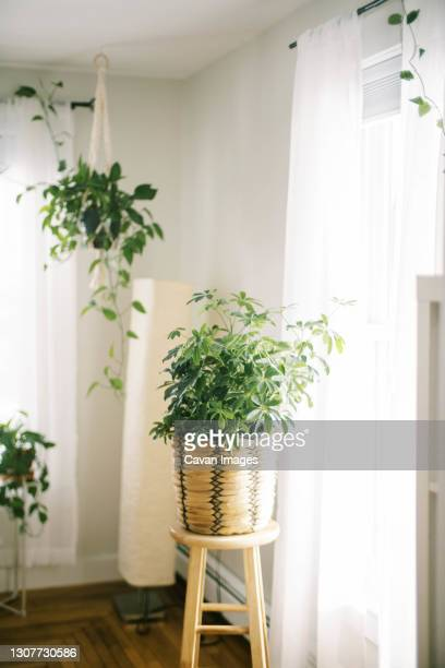 bright simple interior with vining plants and big schefflera on stool - queensland umbrella tree stock pictures, royalty-free photos & images