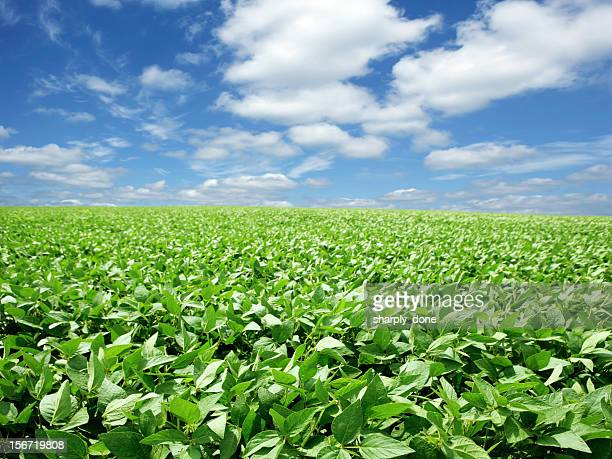 XXXL bright soybean field