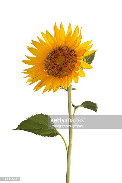 bright sunflower - sunflower stock pictures, royalty-free photos & images