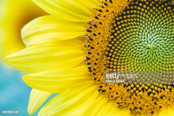 bright sunflower - june stock pictures, royalty-free photos & images