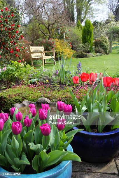 bright tulips in english domestic garden. - springtime stock pictures, royalty-free photos & images