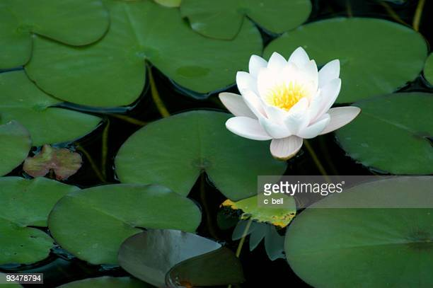Bright White Water Lily