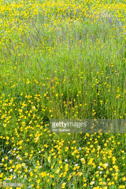 Bright yellow buttercups - Ranunculus - and grasses in a meadow in spring / early summer in The Cotswolds, Oxfordshire, UK.