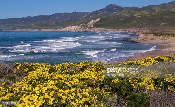 Bright yellow Coreopsis wildflowers line the coastal hillside above the beach as viewed on March 16 2016 near Jalama Beach California After several...